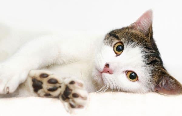 Медицински изследвания доказват, че котките могат да лекуват хората (главоболие, лошо настроение, спазми в стомаха и други) по няколко различни начина: