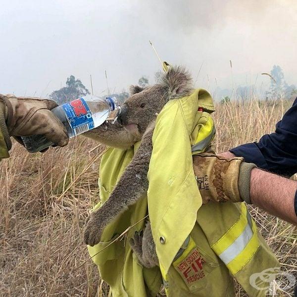 """WWF стартира амбициозна програма """"За два милиарда дървета"""", целяща възстановяването на над милион хектар местообитание на коали до 2030 г."""