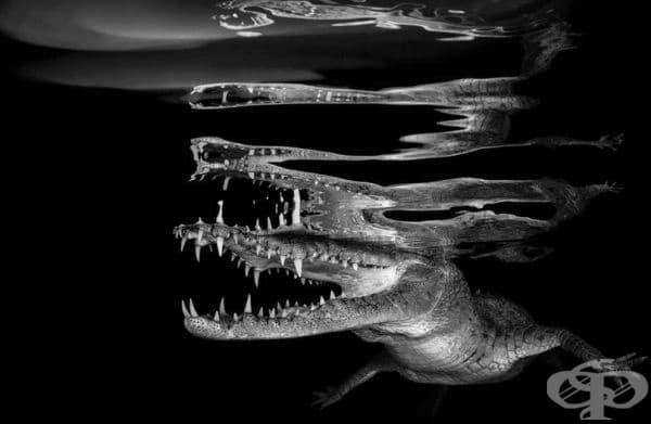 """""""Отражение на крокодил"""", победител в категорията """"Черно-бяла снимка""""."""