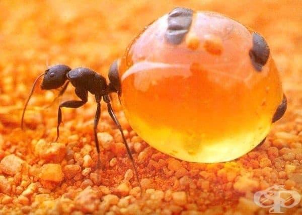 Медна мравка