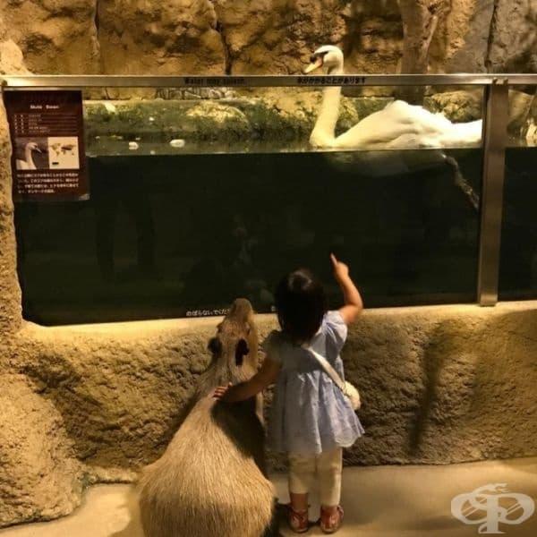 Нищо особено - просто момиче показва лебед на капибара.
