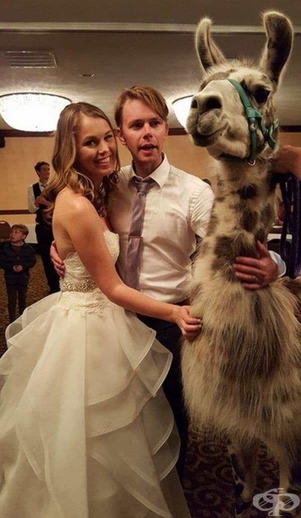 Подарък лама или снимка с лама?