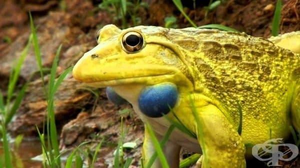 Индийска жаба Бик