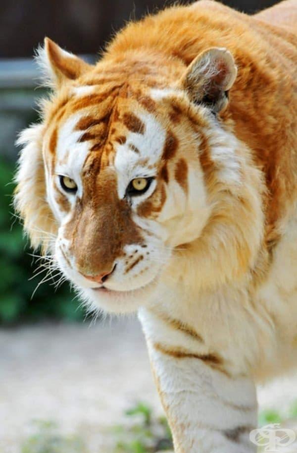 Ето как изглежда един златен тигър. Той се среща изключително рядко, дори по-рядко от тигър албинос.