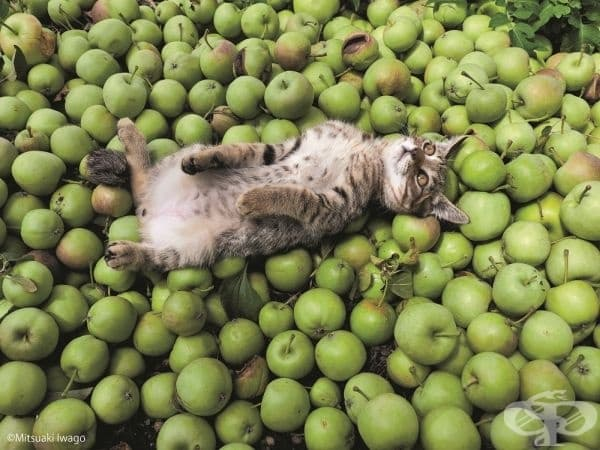 Котка сред ябълки.