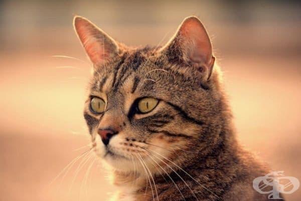 Смята се, че първите домашни котки се появяват в Египет, но откритие през 1936 г. оспорва тази теория. В Кипър е открит  9,500-годишен гроб с мумия на котка. Това предшества споменаването на котките в египетското изкуство с повече от 4000 години.