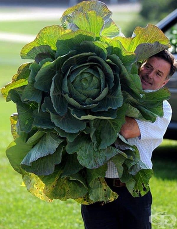 Директорът на Есенното цветно шоу в Харогейт Мартин Риш заснет с гигантско зеле, което представи в изданието на гигантски зеленчуци, посветено на 100-годишнината от шоуто.