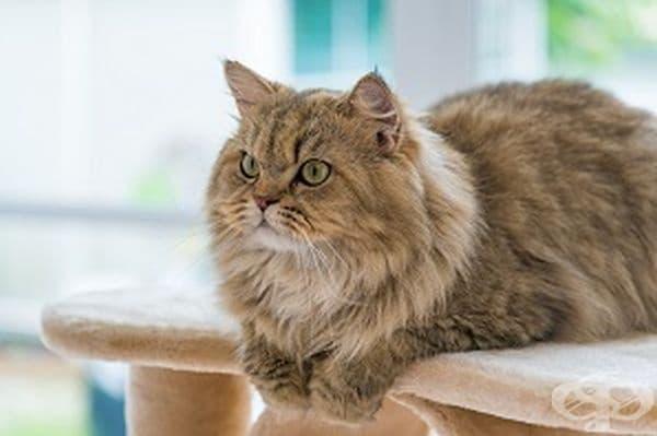 Най-популярната порода котка днес е персийската котка. Следващите най-популярни са порода Мейн Куон и сиамските.