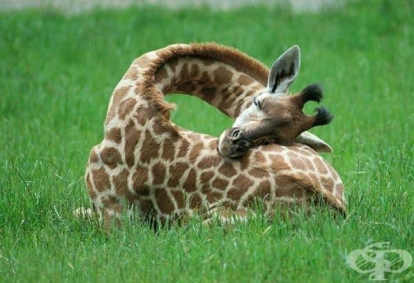 Жирафите спят изключително малко. Те имат нужда от 10 минути до 2 часа сън в денонощие.
