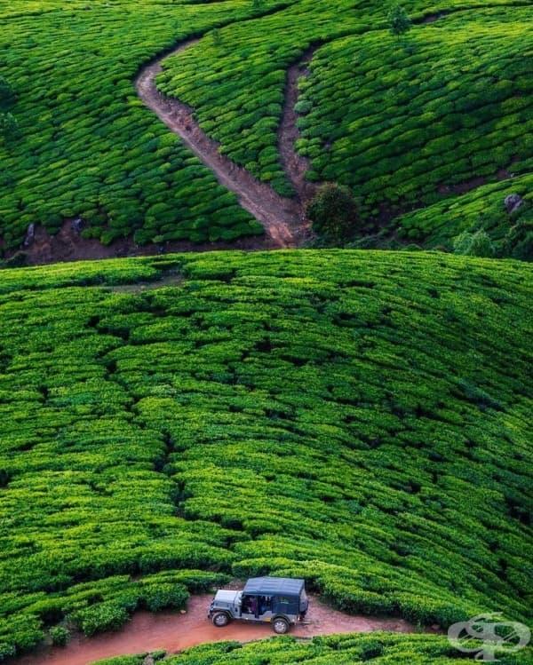 Насаждения от чай Kolukkumalai, Индия.