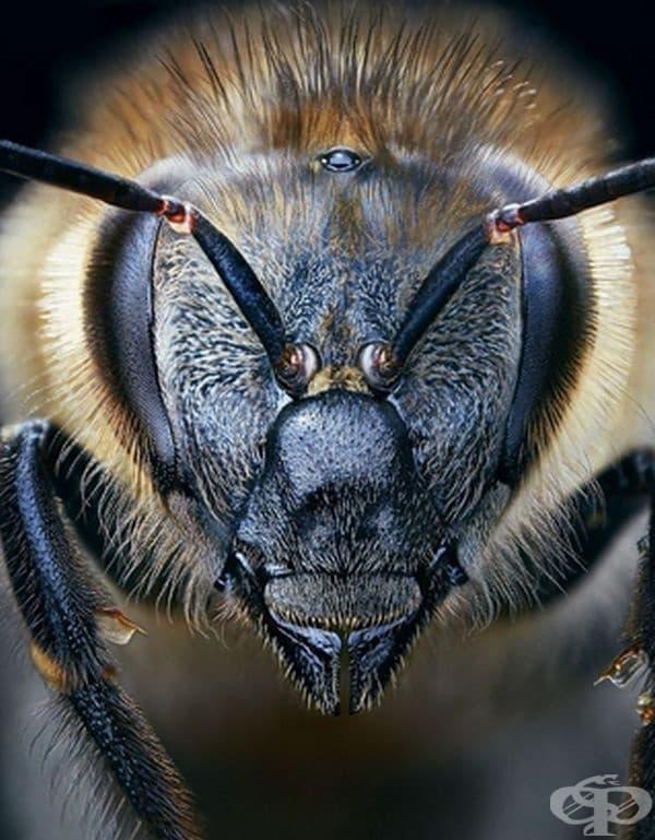 Медоносна пчела