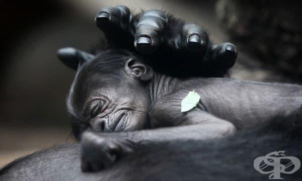 Майчина любов: Новородена горила в зоологическата градина в Германия.