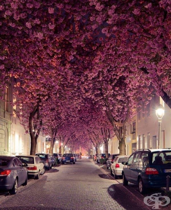 Cherry Blossom Avenu, Бон, Германия.