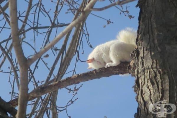 Виждали ли сте някога катеричка албинос?
