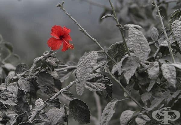 В пепелта след изригването на вулкан на остров Суматра е разцъфнал хибискус.