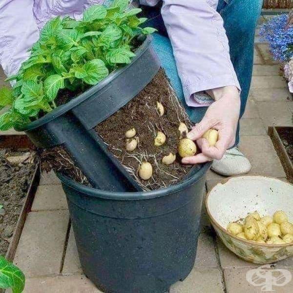 Картофена саксия - тя улеснява изваждането на растенията за прибиране на реколтата.