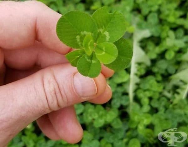 Колко ли късмет ще носи 7-листна детелина?