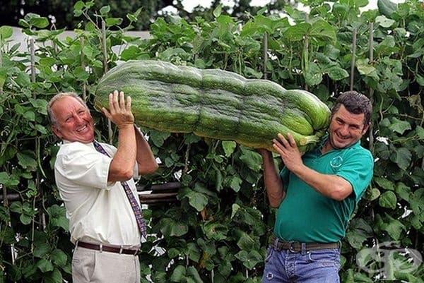Филип Воуелс заедно със сина си Андрю държат гигантска зелена тиквичка с тегло 51 кг., отгледана в Ланели, Южен Уелс.