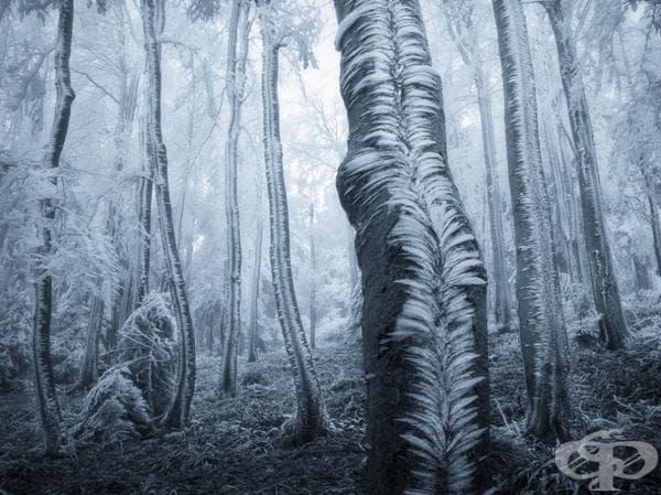 Замръзнали дървета
