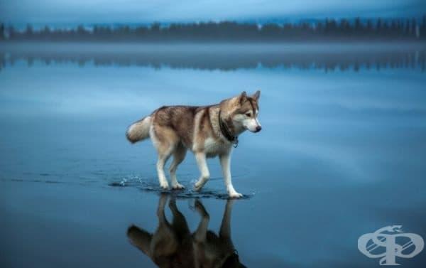 Хъски се разхожда по замръзнало езеро след обилен валеж в Русия.