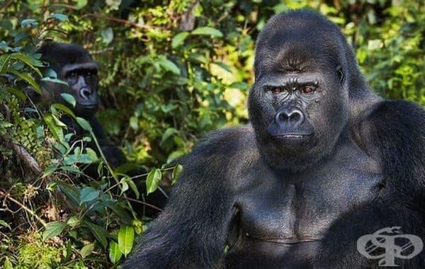 Западна низинна горила