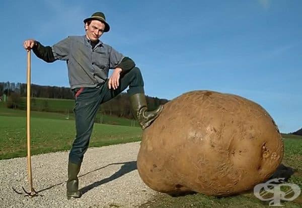Внимание заслужава и големият картоф, отгледан от неизвестен производител. Въпреки че това е някакъв фен на Photoshop, най-големият картоф в Книгата на Гинес е почити 4 кг.