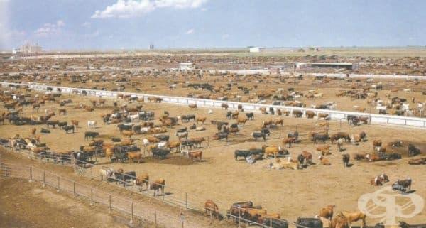 Животновъдна ферма в САЩ с около 30 000 до 50 000 глави едър рогат добитък.