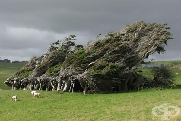 """Дървета, """"издухани"""" от силните ветрове."""