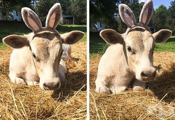 Крава със заешки уши.