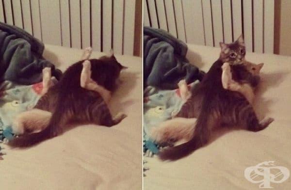 Няма нищо странно тук, просто две котки, които се борят.