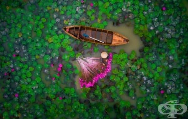 """Жена събира водни лилии в делтата на река  """"Деветте дракона"""" във Виетнам."""