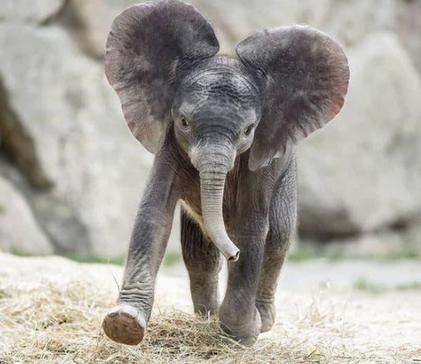 Слоновете чуват с краката си и лесно могат да посочат източника на шума, като анализират силата на вибрациите. В същото време те не могат да скачат.