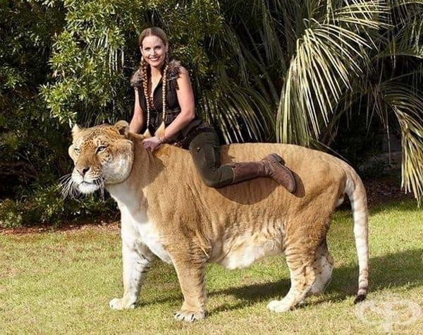 Най-голямата котка днес е лигърът (хибрид между мъжки лъв и женски тигър). Израства до 4 м. на дължина и тегло - над 300 кг. Най-големият лигър днес тежи 450 кг.