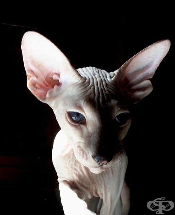 Тази котка се разхожда на модния подиум.
