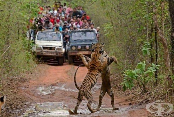 Танцът на тигрите.