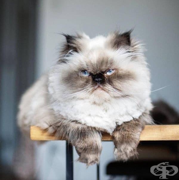 Това е Нон, хималайска котка с една ярка особеност.