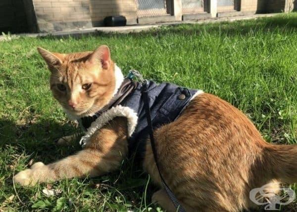 Тази аномалия не вреди на качеството на живот на котката, а напротив, дори му помага.