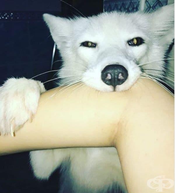 Вижте как живеят хората, които са решили да отглеждат лисица за домашен любимец