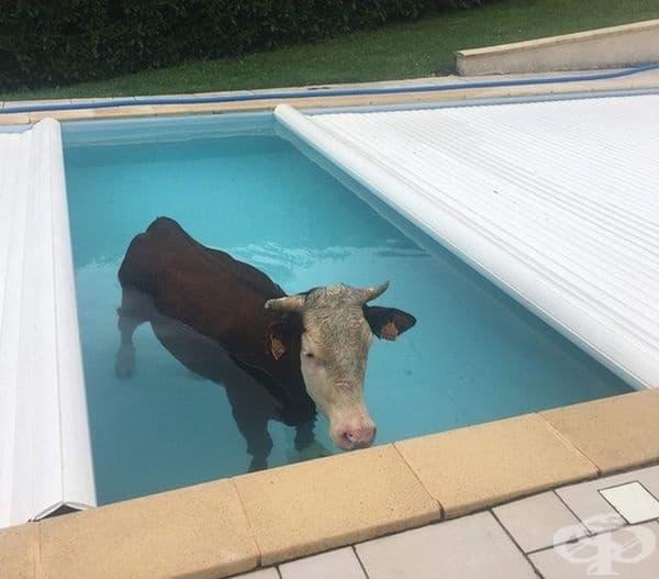 """""""Не очаквах да открия крава в басейна си."""""""