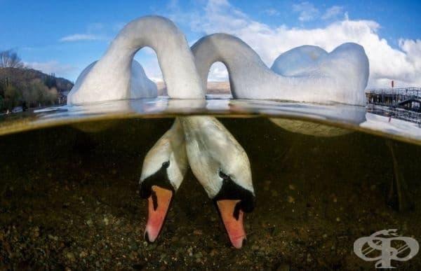 """""""Влюбени птици"""", най-добрият британски подводен фотограф на годината."""