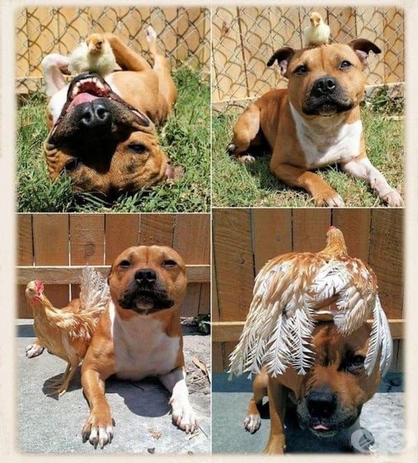 Едно дълго приятелство между куче и кокошка.