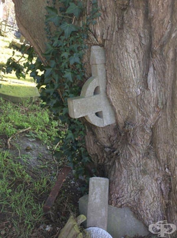 Това дърво е расло до надгробен камък и го е обхванал с времето.