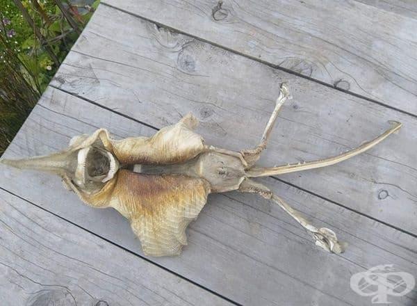 """Съществото има два крака, опашка, две """"крила"""", както и дълга кост, която елегантно допълва черепа."""
