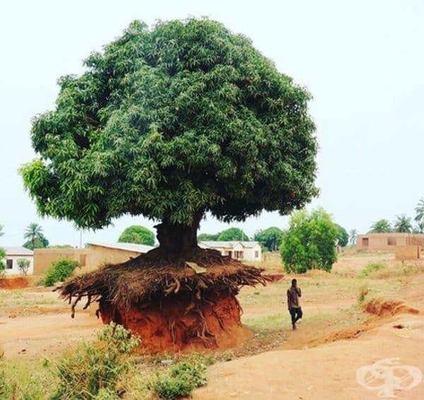 Дърво от Танзания.