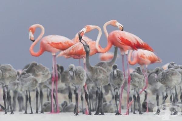 Карибски розови фламинга хранят своите малки.