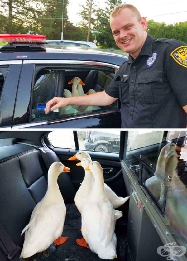 Полицията в Кънектикът арестува няколко гъски за неправилно пресичане. Не, наистина ли?