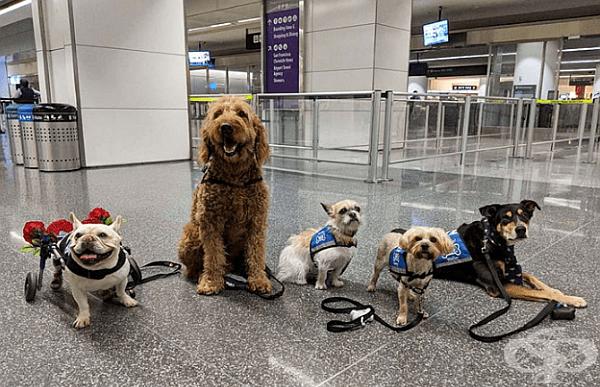 """Всички кучета от бригадата са сертифицирани по програма SF SPCA с предварителна подготовка и положени изпити. По изисквания имат задължителен стаж за терапии (от 6 месеца до година) и след това се назначават на """"работа"""" на летищата."""