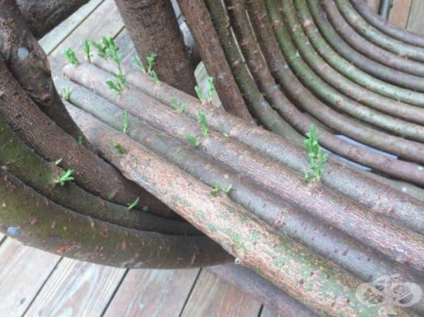 Дървен стол, започнал да покълва.