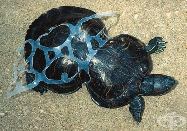 Корубата на костенурката е деформирана от пластмасата.