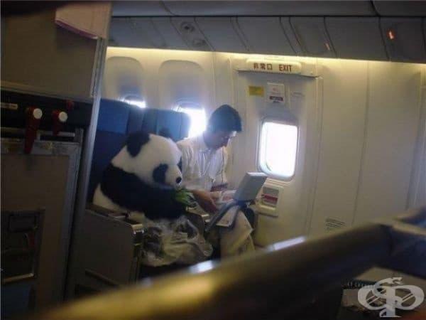 Необичаен пътник: Панда се отправя към Единбург със самолет.